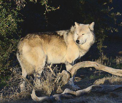 Wolf, Wolves, Predator, Nature, Winter, Wildlife