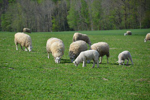Sheep, Lamb, Flock Of Sheep, Pasture, Grass, Wool