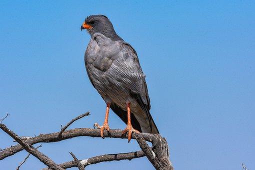 Africa, Animal, Bird, Hawk, White Rump Sing Hawk