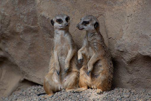 Meerkat, Zoo, Luxembourg, Animal, Prairie Dog, Together