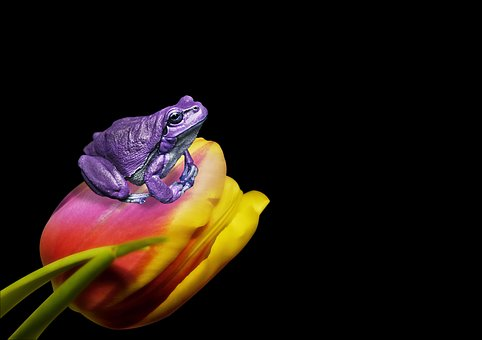 Frog, Tulip, Flower, Animal, Nature, Art, Portrait