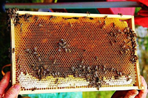 Bees, Bee Honey, Honey, Insect, Honeycomb, Beehive