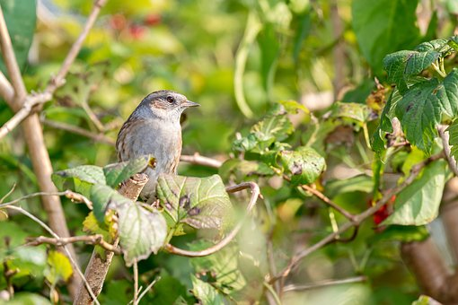 Dunnock, Mus, Garden Bird, Shrubs, Bird, Animal, Garden
