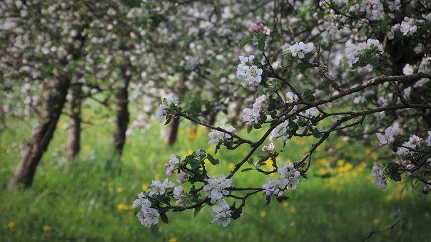 Sad, Fruit Trees, Apple, White, Flowering, Petal, Boost
