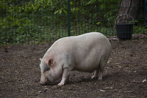 Pig, Animal, Cute, Cattle, Agriculture, Domesticated