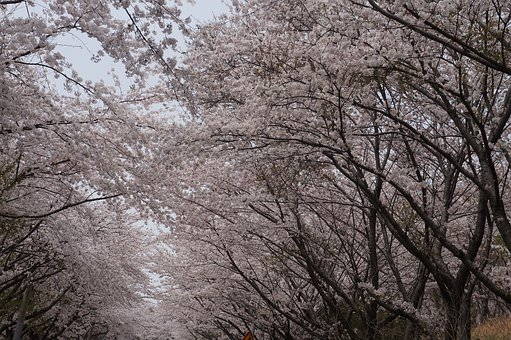 Cherry Blossoms, Spring, Blossom, Bloom, Nature, Tree
