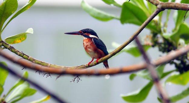 Common, Kingfisher, King, Fisher, Wild, Bird, Wildlife