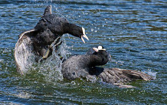 Coots, Argue, Fight, Wing, Waters, Nature, Waterfowl