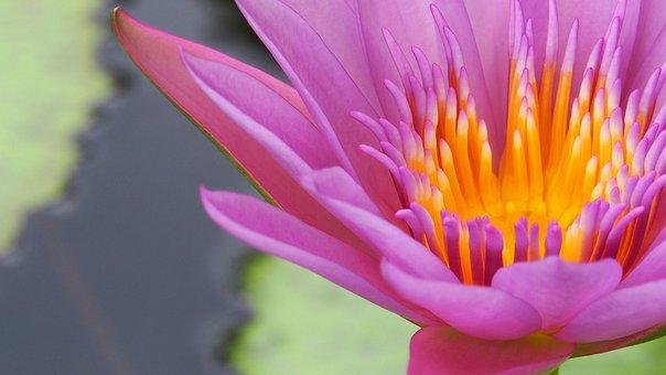 Lotus, Corbel, Lotos, Water Lily, Flower, Bloom