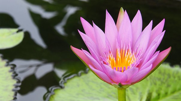 Lotus, Corbel, Water Lily, Pool, Pond