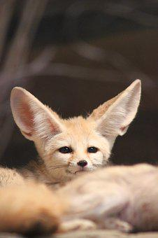 Fennec Fox, Zoo, Animal, Desert Fox, Ears, Fuchs, Cute