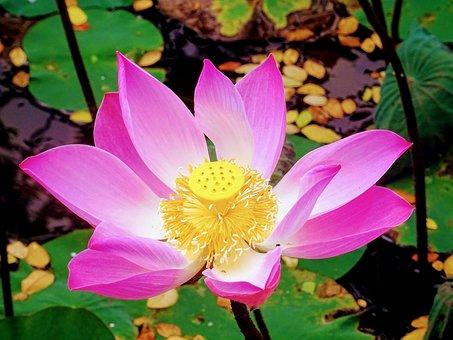 Lotus, Flower, Bali, Pink, Pond, Nature, Bloom, Plant