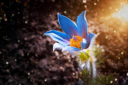 Anemone, Flower, Blossom, Bloom, Nature, Flora, Garden