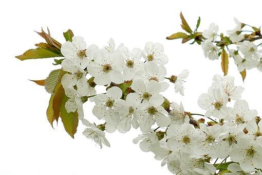 Blossom, Flower, White, Spring, Fragile, Branch, Garden