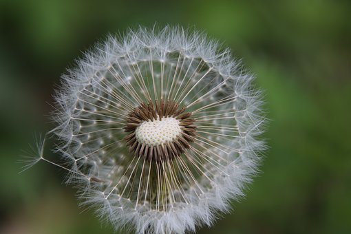 Dandelions, Head Crested, Pappus, Feathery, Silk