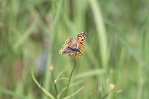 The Large černokřídlý, Butterfly, Meadow, Insect