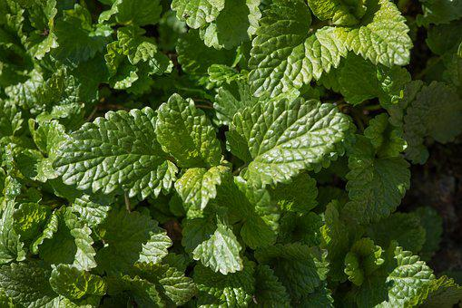 Mint, Leaves, Green, Garden, Healthy, Nature, Health