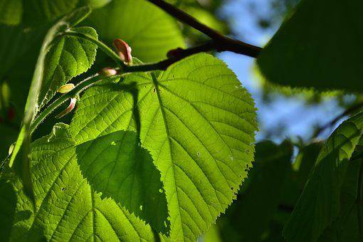 Lime, Nature, Foliage, Branch, Tree, Shadow