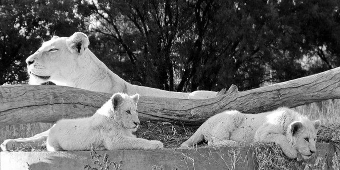 White Lion, Lion, Lion Babies, Mother Lion