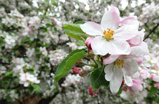 Apple, Flowers, Blossoming, May, Spring, Flower, Garden