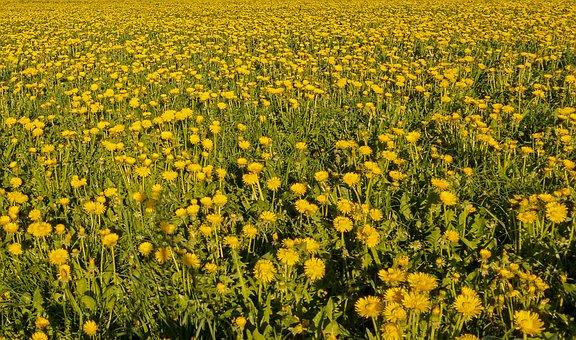 Dandelion, Meadow, Flower Meadow, Pointed Flower