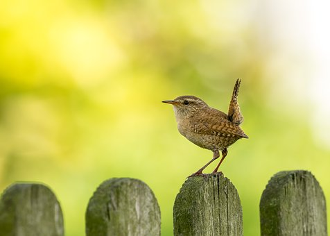 Wren, Willow Wren, Bird, Nature, Morning, Animal, Birds