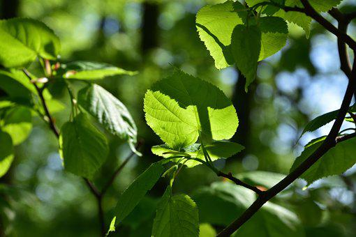 Lime, Nature, Shadow, Branch, Tree, Foliage