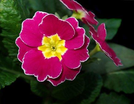 Pink Polyanthus, Primrose, Flower, Garden, Nature