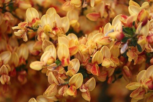 Noble Broom, Orange, Flowers, Broom, Cytisus Scoparius