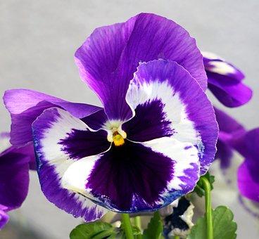 Pansy, Viola, Violet Plant, Flower, Blossom, Bloom