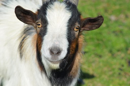 Goat, Pet, Nature, Farm, Livestock, Portrait