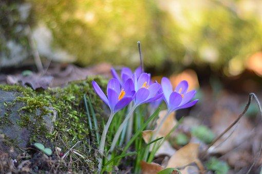 Spring, Early Bloomer, Crocus, Close Up, Spring Crocus