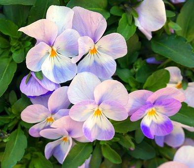 Pansy, Flower, Blossom, Bloom, Blue, Spring, Plant