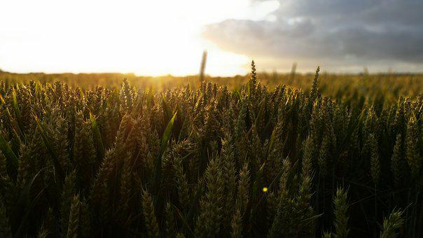 Sunset, Cereals, Wheat, Clouds, Summer, Nature, Harvest