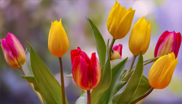 Tulips, Spring, Colorful, Close Up, Flower, Red Yellow