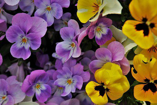 Pansies, Flowers, Yellow, Garden, Pansy, Violet