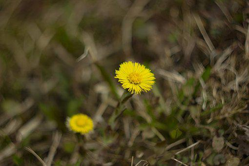 Flowers, Yellow, Nature, Spring, Mother And Stepmother