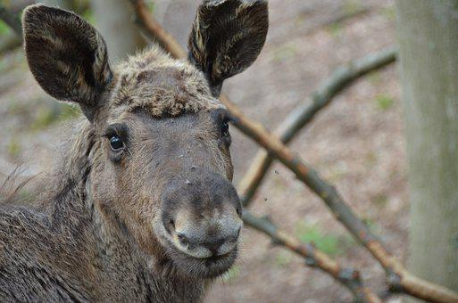 Moose, Young, Nature, Animal World, Head, Young Animal