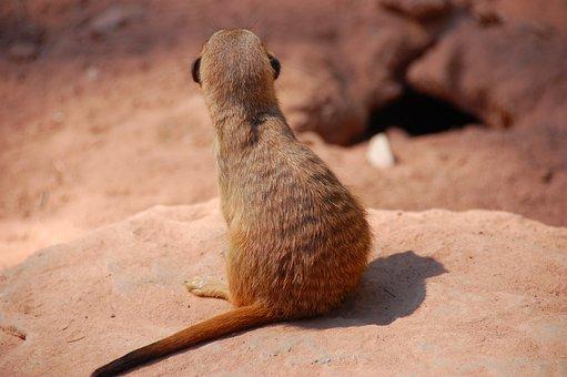 Meerkat, Animal, Zoo, N, Cute, Nature, Sweet, Small
