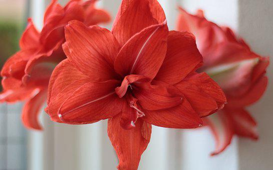 Amaryllus, Red, Voorjaarsbloem, Beauty, Decorative