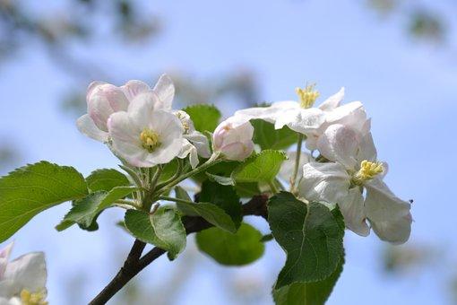 Apple Tree, Apple Blossom, Tree, Spring, Branch, Bloom