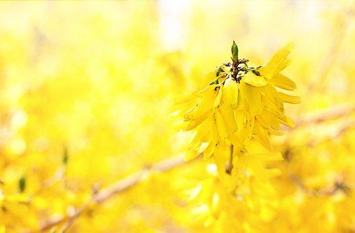 Forsythia, Yellow, Flowers, Spring, April, Nature