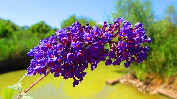 Beautiful Flower, Purple, Bells, Blue Flower