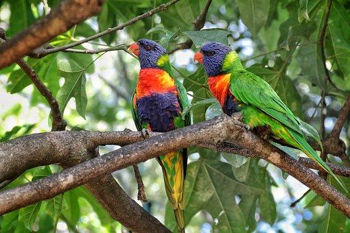 Coconut Lorikeet, Parrot, Bird, Colourful, Nature