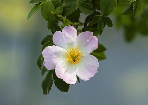 Brian, Rose, Roses, Flower, Rosehips, Bloom, Pink
