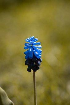 Muscari, Flower, Blue, Blossom, Bloom, Garden
