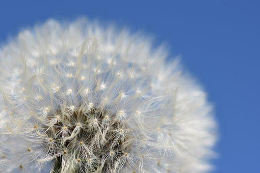 Dandelion, Clock, Plant, Spring, Flower, Nature, Summer