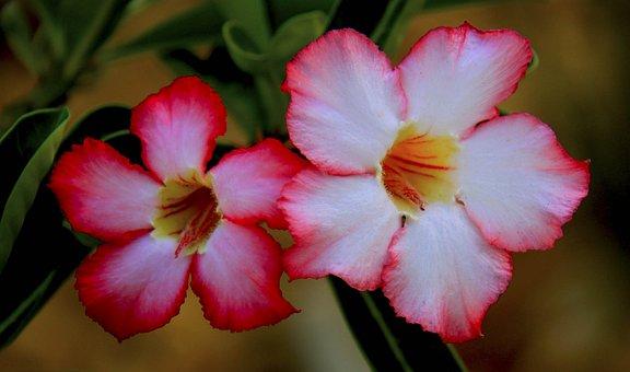 Flower, Nature, Flora, Petal, Summer, Daisy, Pink