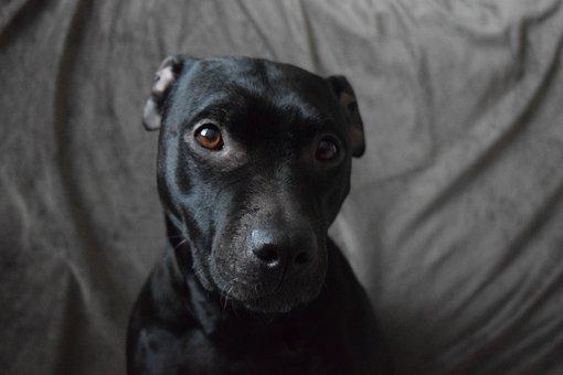 Dog, Pit Bull, Black Dog, Dog Photo, Dark Dog
