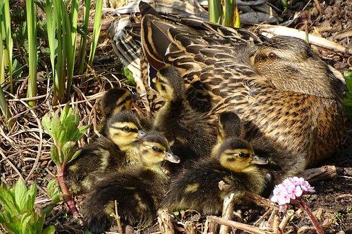 Duck, Ducklings, Rest, Water Bird, Mother, Babies